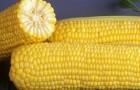 Сорт кукурузы сахарной: Гх 5704