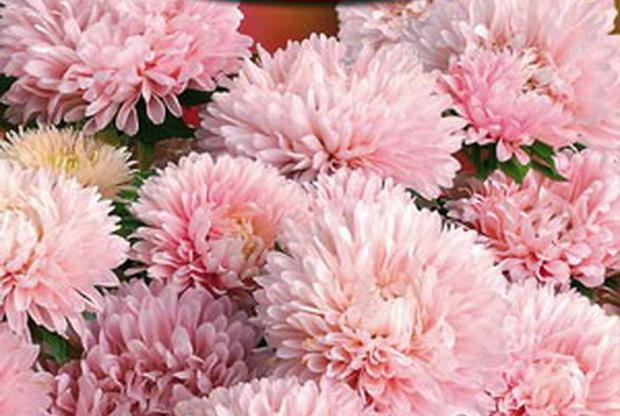 Сорт астры однолетней: Гном розовая