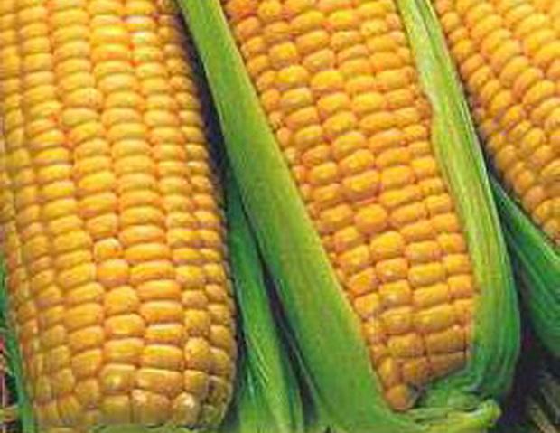 Сорт кукурузы сахарной: Государь