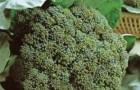 Сорт капусты брокколи: Грин мэджик f1