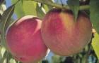 Сорт персика: Хадуссамат желтый