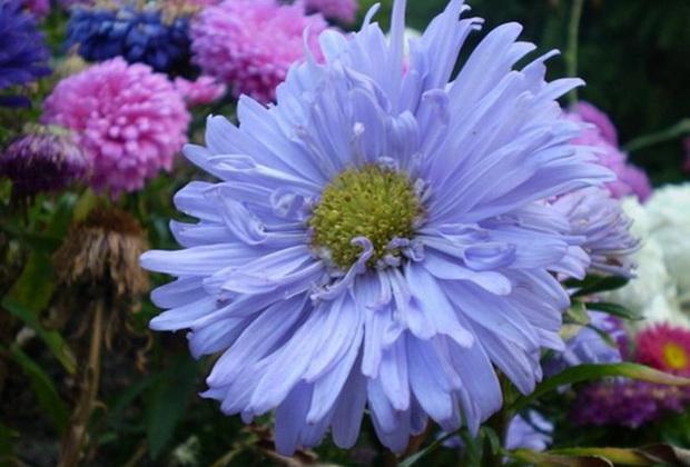 Сорт астры однолетней: Хавская голубая