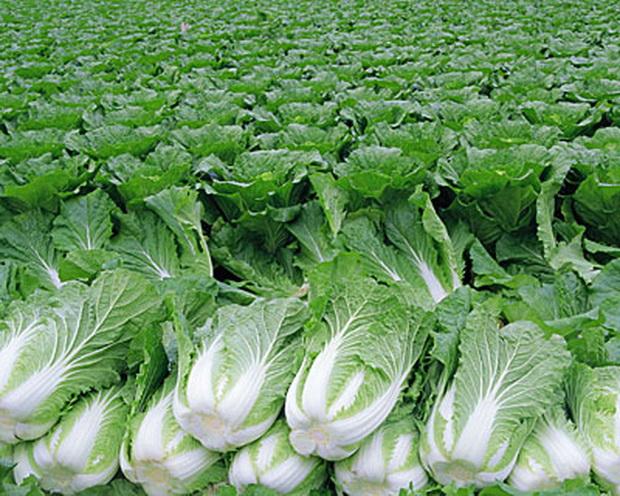 Сорт капусты китайской: Холодок   f1