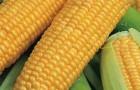 Сорт кукурузы сахарной: Хуторянка