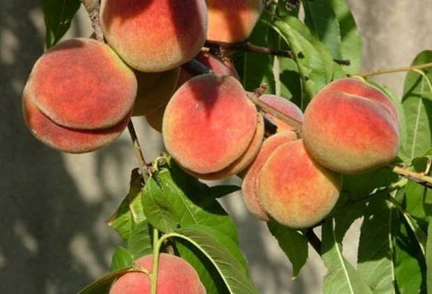 Сорт персика: Ирганайский поздний