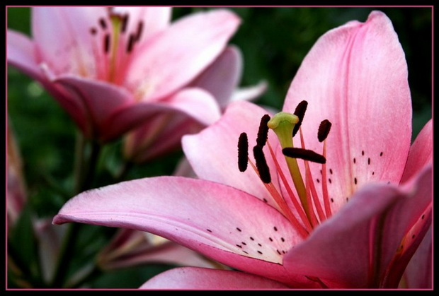 Сорт лилии: Изысканная