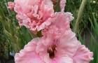 Сорт капусты гладиолуса: Катерина