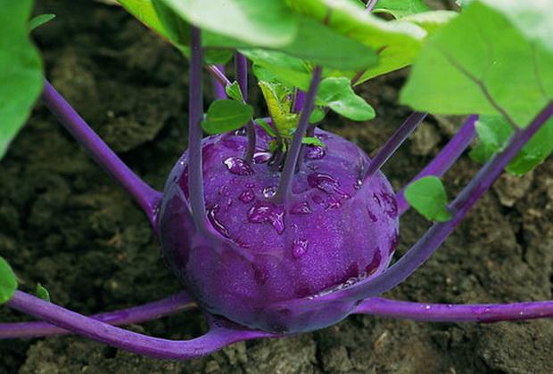 Сорт капусты кольраби: Колибри   f1