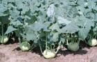 Сорт капусты кольраби: Коссак f1