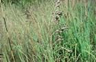 Сорт мятлика лугового: Ковровый
