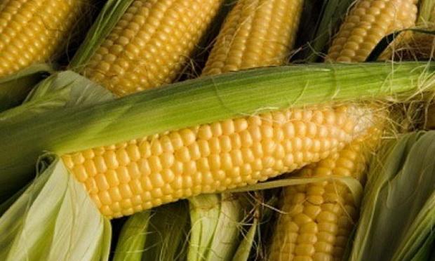 Сорт кукурузы сахарной: Кр 827 св