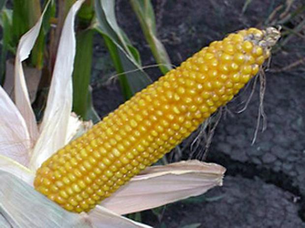 Сорт кукурузы сахарной: Краснодарский сахарный 250 св   f1