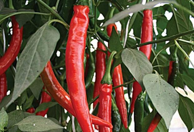 Сорт перца острого: Красный дракон