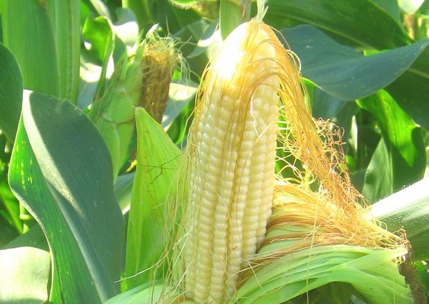 Сорт кукурузы сахарной: Кубанский сахарный 210