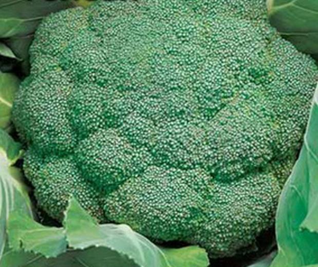 Сорт капусты брокколи: Кудрявая голова