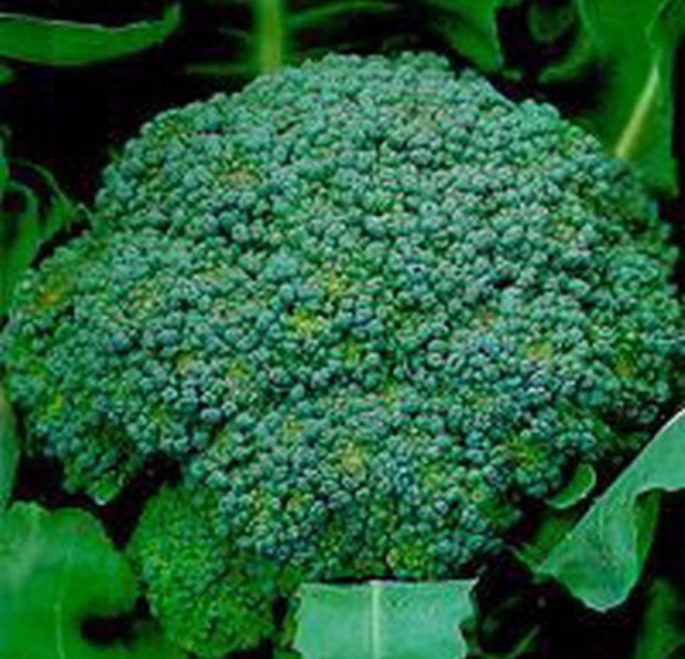 Сорт капусты брокколи: Лаки   f1