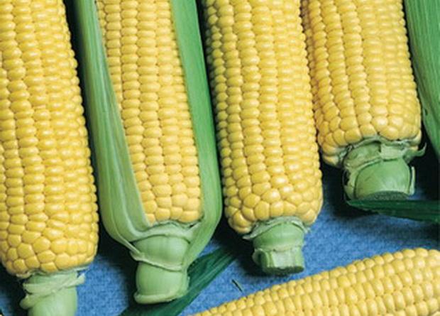 Сорт кукурузы сахарной: Лакомка белогорья