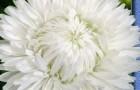 Сорт астры однолетней: Леди коралл белая