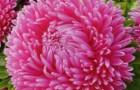 Сорт астры однолетней: Леди коралл бриллиантово-розовая