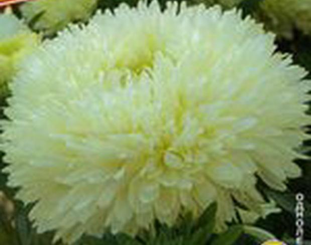 Сорт астры однолетней: Леди коралл кремово-белая