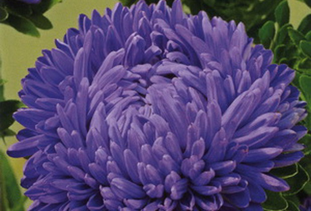 Сорт астры однолетней: Леди коралл темно-синяя