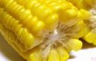 Сорт кукурузы сахарной: Леженд
