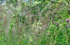 Сорт мятлика лугового: Лимаги