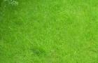 Сорт мятлика лугового: Лимерик