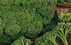 Сорт капусты брокколи: Мачо f1