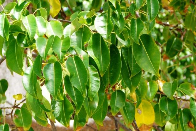 Манцинелловое дерево или Манцинелла