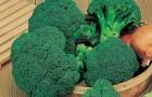 Сорт капусты брокколи: Маратон f1