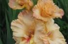 Сорт капусты гладиолуса: Майя плисецкая