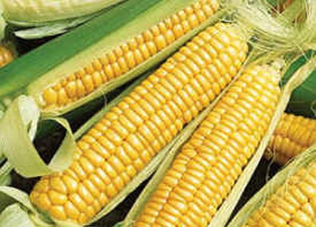 Сорт кукурузы сахарной: Мечта гурмана