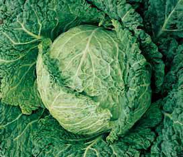 Сорт капусты савойской: Мелисса   f1