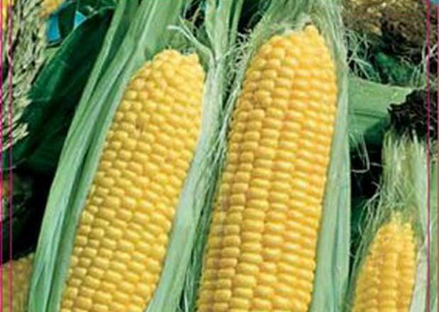 Сорт кукурузы сахарной: Меркур