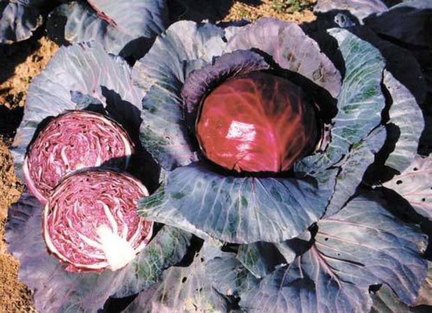 Сорт капусты краснокочанной: Михневская красавица