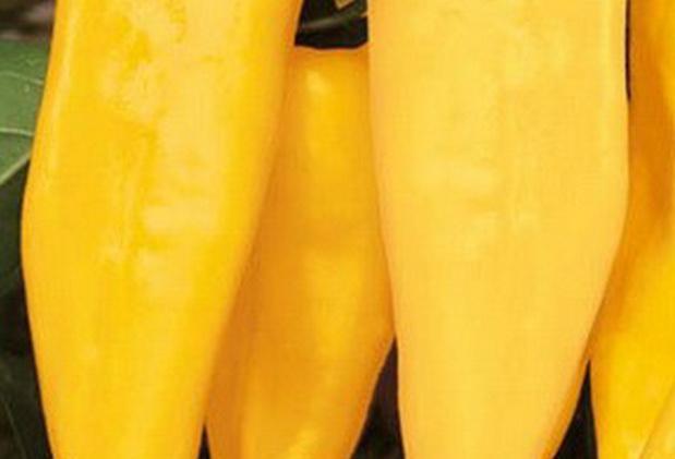 Сорт перца острого: Молния золотая   f1