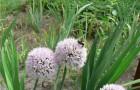 Сорт лука слизуна: Монастырский