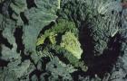 Сорт капусты савойской: Морама f1