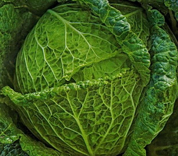 Сорт капусты савойской: Московская кружевница