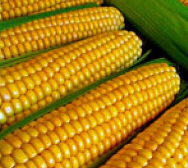 Сорт кукурузы сахарной: Мс эрика