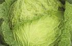 Сорт капусты савойской: Надя