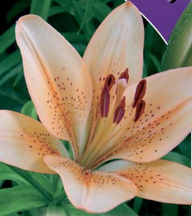 Сорт лилии: Находка