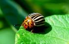 Нашу картошку атакует слаженный союз жуков и микробов