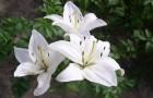 Сорт лилии: Невеста