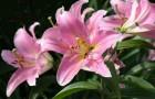 Сорт лилии: Нежеголь