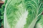 Сорт капусты пекинской: Нежность f1