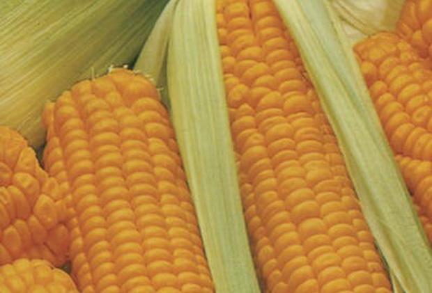 Сорт кукурузы сахарной: Ника 353