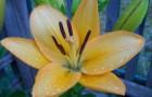 Сорт лилии: Нина