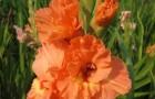 Сорт капусты гладиолуса: Нижний новгород